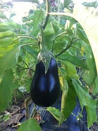 Eggplant_2017_IMG_4151