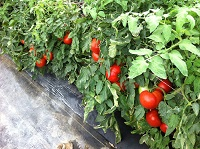 Tomatoes_in_Tunnel_IMG_3964